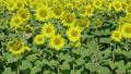 해바라기, 꽃, 화초 37719779