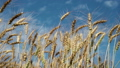 Concept of bread and agriculture. Wheat crop sways 37823179