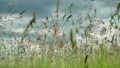 Wild grass on meadow swinging from the wind on 37875569