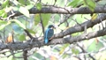 Kingfisher eating small fish on a branch 37908400