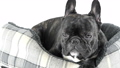 French bulldog lying down in bed on a white backgr 38052156
