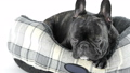 French bulldog lying down in bed on a white backgr 38052157