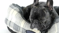 French bulldog lying down in bed on a white backgr 38052158