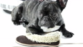 French bulldog with shoes 38052164
