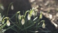 handheld slow motion shot of snowdrops in spring 38102360