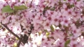Slow motion focus pull of blossoming sakura 38102363