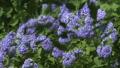 木陰から見える紫陽花 38127348
