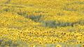 ひまわり畑(パンニング撮影) 38127350