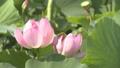 蓮の花(パンニング撮影) 38127354