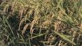 収穫間際の稲穂 38127357