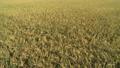 収穫間際の田んぼ 38127359