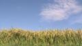 収穫間際の稲穂 38127360