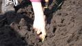 Planting Potatoes Closeup 38141862