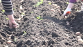 Planting Potatoes Closeup 38141863