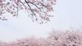 満開な桜 38209194