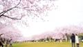 春 桜が咲く公園 38209732