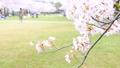 春 桜が咲く公園 38210017