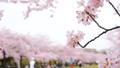 春 桜が咲く公園 38210018