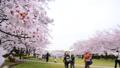 春 桜が咲く公園 38210021