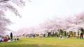 春 桜が咲く公園 38210022