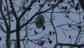 吃在樹枝的Ezomomonga堅果在冬天的清早.1 38250960