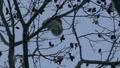 吃在樹枝的Ezomomonga堅果在冬天清早._4 38250964