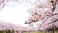 春 満開な桜 38268483