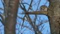 エゾモモンガ モモンガ 動物の動画 38295208