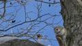 エゾモモンガ モモンガ 動物の動画 38295212