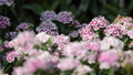 Sweet William flower in flower field. 38345421