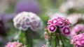 Sweet William flower in flower field. 38345422