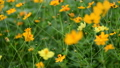 Orange cosmos flower in the wind at cosmos field.  38374001