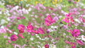 Pink cosmos flower in the wind at cosmos field. 38374027