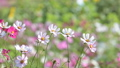 Pink cosmos flower in the wind at cosmos field. 38374028