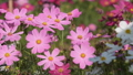 Pink cosmos flower in the wind at cosmos field. 38374029