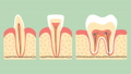 type of tooth ( molar, incisor and canine ) 38376842