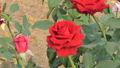 Red rose blossom in flower field.  38377602