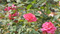 Zoom in red rose blossom in flower field.  38377603