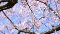 青空と桜-6106097 38397255