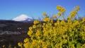 吾妻山公園の菜の花と富士山 38429076