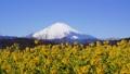 吾妻山公園の菜の花と富士山 38429077
