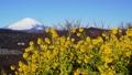 吾妻山公園の菜の花と富士山 38429078