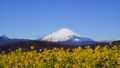 吾妻山公園の菜の花と富士山 38429083