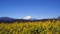 吾妻山公園の菜の花と富士山 38429086