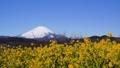 吾妻山公園の菜の花と富士山 38429087