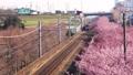 早咲きの河津桜と電車 38467678