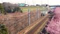 早咲きの河津桜と電車 38467679