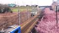 早咲きの河津桜と電車 38467680