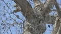 觀看方式的兩個Ezo momonga從上面和在白天採取的一棵大樹的分支下 38528008