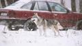 Young Siberian Husky Dog Running Outdoor In Winter 38549347